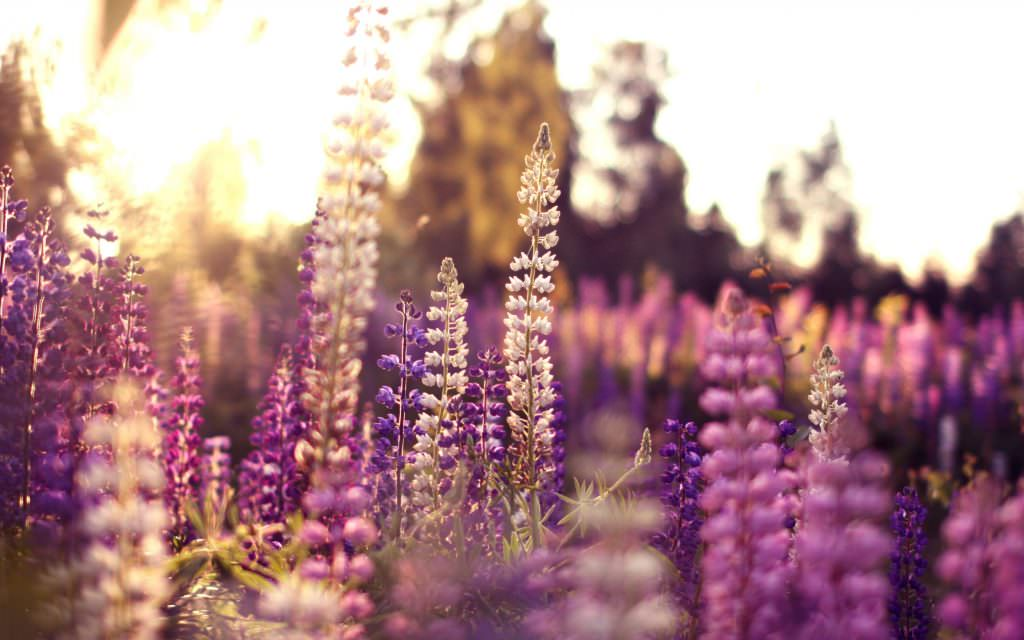 lupine-flowers-spring-macro-sunset-field-plant-nature-background