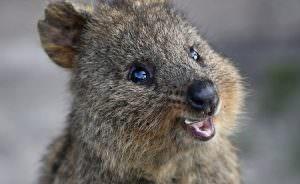 The worlds happiest animal, the Quokka at Rottnest Island. Pic Mogens Johansen, The West Australian 6/08/13